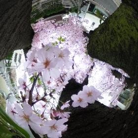Inside a Cherry Tree #Sakura #Cherryblossom #日本 #일본 #Япония  #hanami #Japon #VR #theta360