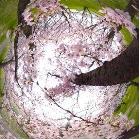 重信川沿いの桜並木でパノラマ撮影。THETA、大活躍!