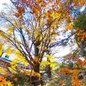 360 Photo Walk in IKOMA Mountain Range,龍尾寺の大銀杏 #momiji3d #IKOMA_Nature_Walk #JAPAN Autumn Foliage 2018 #theta360