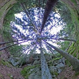 Paraplyträd nr p29 i Skarnhålans gammelskog. Genom att sponsra Grupp-gran-kramen så skyddas träden och deras närmaste omgivning för evigt. https://naturarvet.se #naturarvet #gammelskog #naturvård #skyddadnatur #natur #paraplyträd #ek #fadder