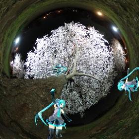夜桜見たよ  #miku360 #theta360
