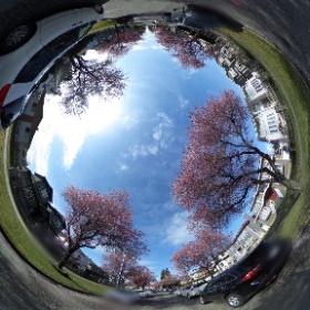 バンクーバーの桜並木🌸 青空が見える日は特に気持ちがいい☺️ ほぼ4週間、友人と直接会っていない&公共交通機関を使っていないから、コロナが収束した際にきちんと社会復帰できるか、少々不安はあります😂 #theta360