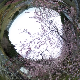 #sakura3d  #福徳寺 20/03/28小雨  #theta360