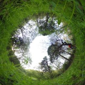 ヤエムグラの林から