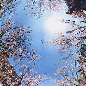 2017.4.12. 집앞 가로공원길 #sakura3d
