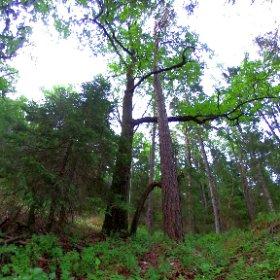 """Paraplyträd nr p15 """"Grönsångar Eken"""" i Skarnhålans gammelskog. Genom att sponsra trädet skyddar du det och dess närmaste omgivning för evigt. https://naturarvet.se/paraplytrad-och-skogsrutor-i-skarnhalan/ #theta360"""