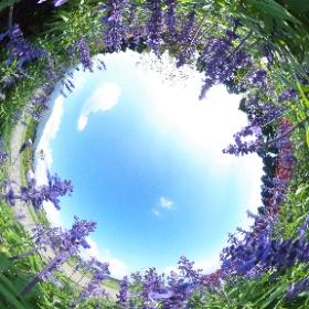 サルビアinくじゅう花公園 #theta360