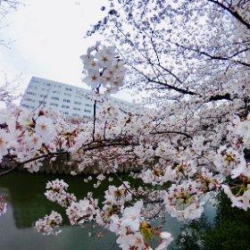 目黒川沿いの桜はもうすぐ満開です。今週末が見頃かな。 #theta360