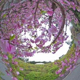 2015.4.4 八重桜と水晶殿