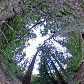 Paraplyträd nr p30 i Skarnhålans gammelskog. Genom att sponsra träd-mixen så skyddas träden och deras närmaste omgivning för evigt. https://naturarvet.se #naturarvet #gammelskog #naturvård #skyddadnatur #natur #paraplyträd #träd #fadder