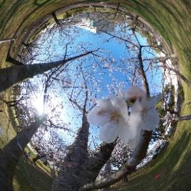 宮崎県総合文化公園の桜(ソメイヨシノ)は、そろそろ満開ですね。 #theta360