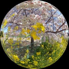 少し前に撮ったものに #Sakura3D のエフェクトを付けてみました #theta360