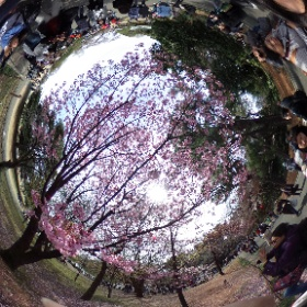 新宿御苑 今日の桜 #sakura3d #theta360