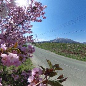 後ろの桜の色のコントラストもいいと思ってるんですが… #theta360
