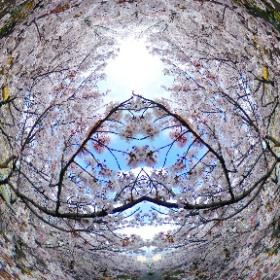 THETA S で撮る桜、ここまで囲まれる状況にはならなかったので、奇麗な方で左右合わせ鏡。桜吹雪が舞う仕組みが素敵すぎる。 #sakura3d #theta360