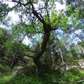Paraplyträd nr p1 i Skarnhålans gammelskog. Genom att sponsra trädet så skyddas det och dess närmaste omgivning för evigt. https://naturarvet.se/paraplytrad-och-skogsrutor-i-skarnhalan/ #theta360