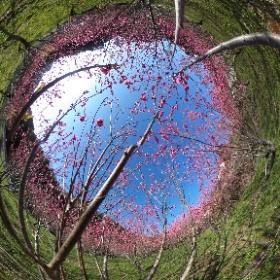 桃の花 青空が合うね〜 #theta360