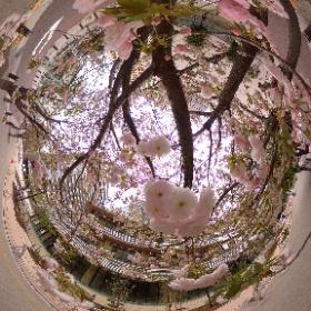 駅前の桜 #sakura3d #桜 #cherryblossom #360度写真 #シータのある生活 #theta360
