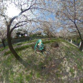 お花見行ってきた。 もう散り始めてる。今年は早かったな。 #miku360 #sakura3d #theta360
