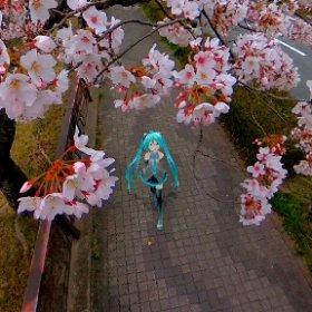 桜を眺めながら #miku360 #theta360