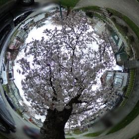 先週、久しぶりに360度カメラを使ってみました🌸 ひっそりと満開を迎えるバンクーバーの桜をオンラインでお楽しみください😊❤️ #theta360