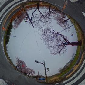 瀬谷区海軍道路の桜 #theta360