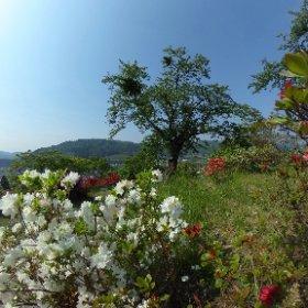 赤と白の間に。 青森県南津軽郡大鰐町、大鰐温泉つつじまつり #theta360