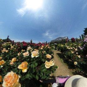 クラスの生徒さん方と、京成バラ園に遠足です。 THETA、低い位置に構えたら、バラがこんなに近くに。香りまで届きそうです。  #theta360