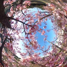 葛西臨海公園で桜🌸を撮影しました。 #sakura3d #theta360