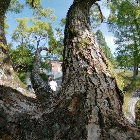 一箇所で四つ股になってる木 #theta360