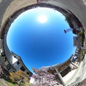 枝垂れ八重の梅 富士牡丹がそろそろ見ごろを迎えます。 #theta360