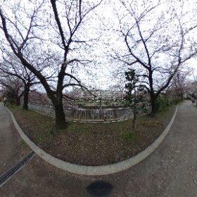 君嘘でおなじみの練馬高野台の桜はだいぶ咲いてきたけど、天気イマイチですね。ちなみにこの二本の桜の間に植えられているのが椿であるということに今更気がつきました。 #theta360