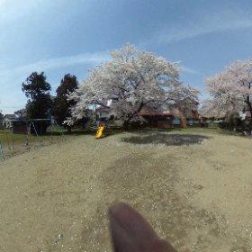 桜:神明神社@長岡市