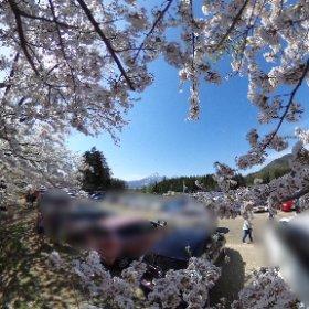 観音寺川の桜祭り、駐車場がなければ、桜の真ん中に磐梯山があっていい感じだったのになあ #theta360
