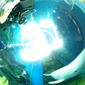 2020/03/28 仙台うみの杜水族館でスナメリと遊ぶ #padi #diving #FLIPPER-dc #フリッパーダイブセンター #仙台うみの杜水族館 #スナメリ #theta #theta_padi #theta360 #群馬 #伊勢崎 #ダイビングショップ #ダイビングスクール #ライセンス取得
