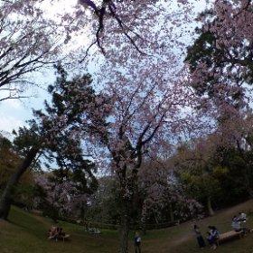 京都御苑近衛邸跡の前の枝垂れ桜。 桜吹雪を撮りたいけど、風が無いので、なかなか散りません。欲しいときに吹いて欲しいもんやけど、そんなワガママきいてもらえるワケも無く…