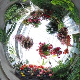 水戸市植物公園の熱帯果樹温室内のベゴニアです。 http://www.mito-botanical-park.com/