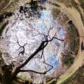 2018年3月24日 京都御苑 #sakura3d