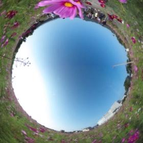 愛媛県東温市見奈良のコスモス畑でパノラマ撮影しまシータ。 #theta360