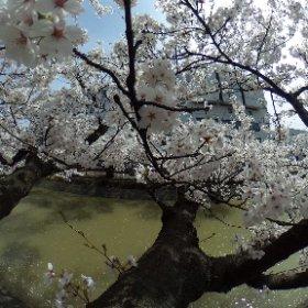 桜@福島江