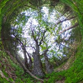 Paraplyträd nr p24 i Skarnhålans gammelskog. Genom att sponsra trädet så skyddas det och dess närmaste omgivning för evigt. https://naturarvet.se #naturarvet #gammelskog #naturvård #skyddadnatur #natur #paraplyträd #ek #fadder