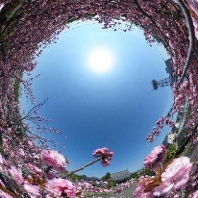 2018年八重桜が見ごろを迎えました。