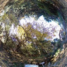 流谷八幡神社/樹齢400年の大イチョウ 1of2 #thetav #theta360