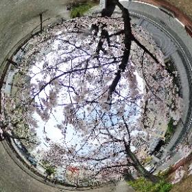 お花見 台東区山谷掘り公園