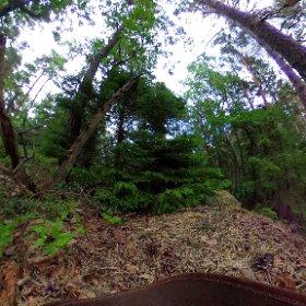 """Paraplyträden p8 """"Koreanska granen"""" i Skarnhålans gammelskog. Genom att sponsra trädet skyddar du det och dess närmaste omgivning för evigt. https://naturarvet.se/paraplytrad-och-skogsrutor-i-skarnhalan/ #theta360"""
