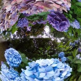静岡県藤枝市の蓮華寺池公園でも紫陽花が咲いていました。規模は大きくないのですが、その分綺麗に咲いていました。 #theta360