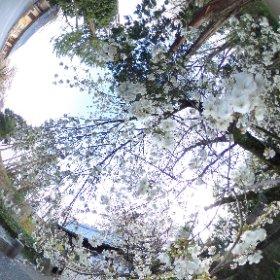 桜と雪の饗宴 #金沢城 #桜 #snow3d #theta360