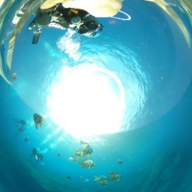 2020/08/10 八丈島・局長浜、ツバメウオ #padi #diving #フリッパーダイブセンター #八丈島 #theta #theta_padi #theta360 #群馬 #伊勢崎 #ダイビングショップ #ダイビングスクール #ライセンス取得