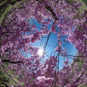 弘前城植物園の枝垂れ桜