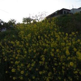 菜の花だって綺麗に咲いています。 #miku360 #theta360